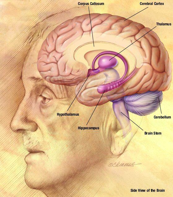 nia_human_brain_drawing-8220217
